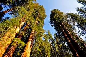 Sequoia National PArk (1)
